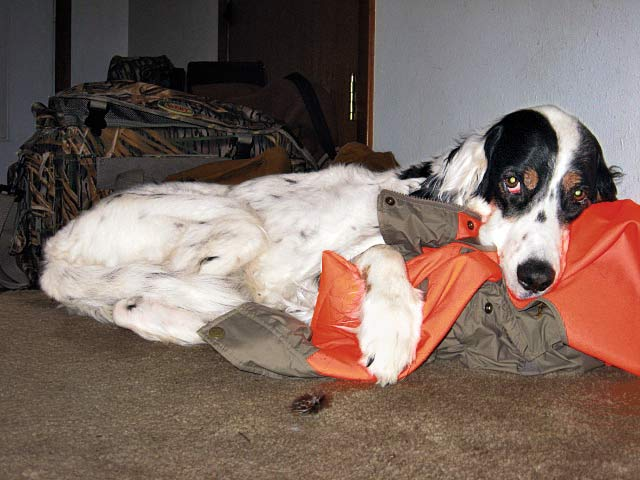 hunting dog napping on clothes