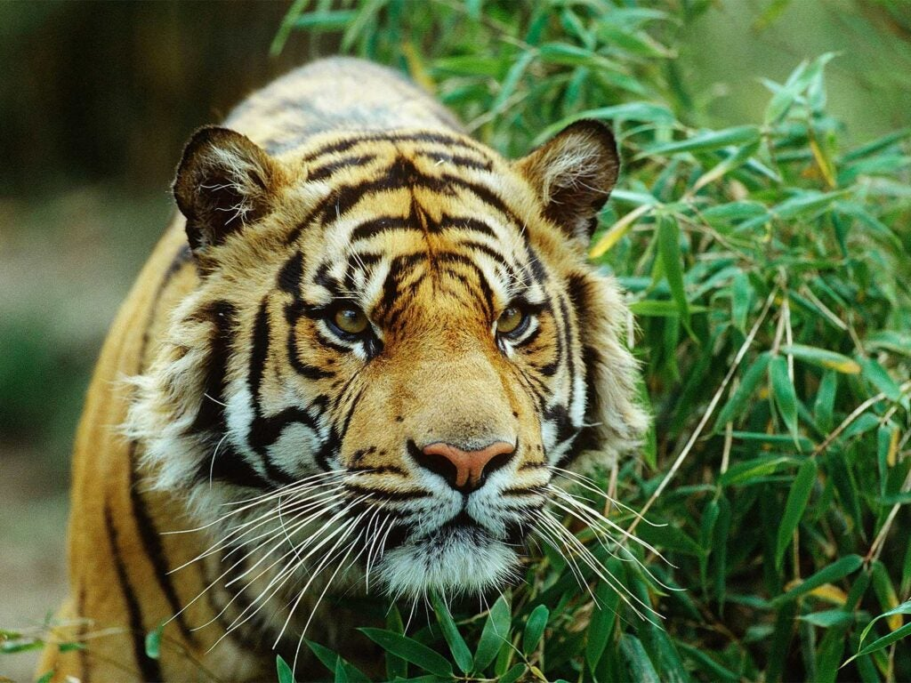 a bengal tiger in the weeds