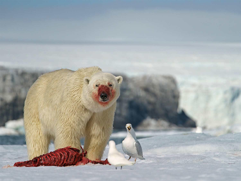 a polar bear feeding on a seal