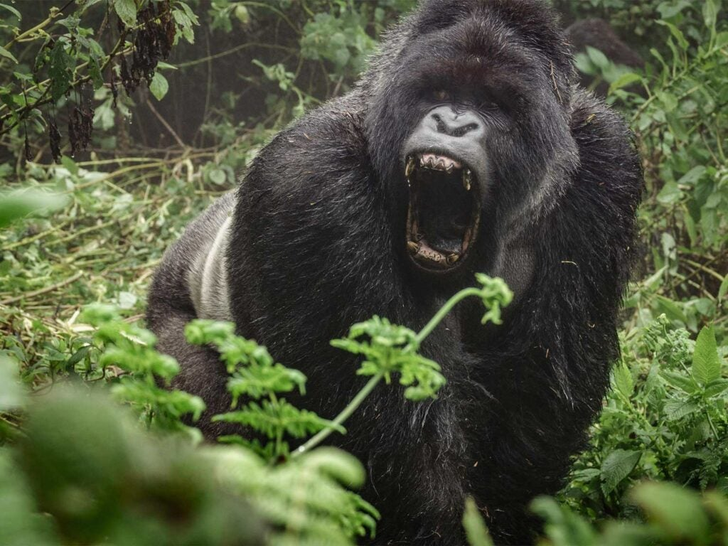 angry gorilla roaring in the forest