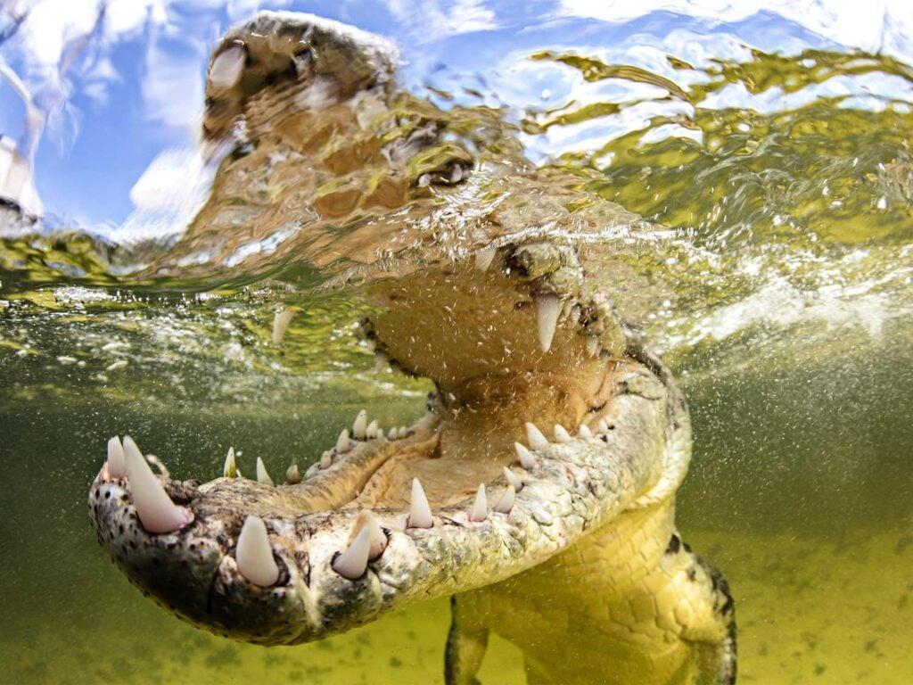 half underwater image of saltwater crocodile