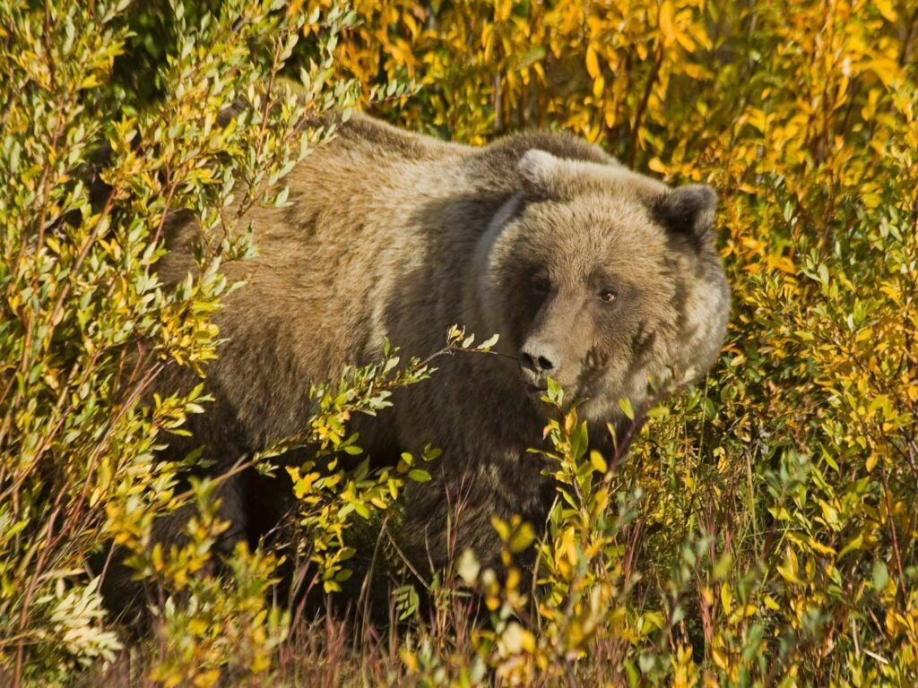 a grizzly bear in the woods