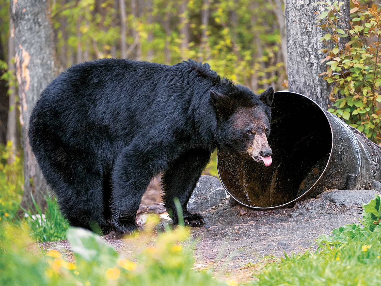 6 Tips for Baiting and Bowhunting Fall Bears