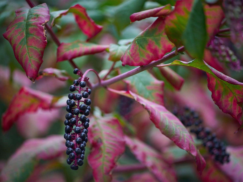 pokeweed berries