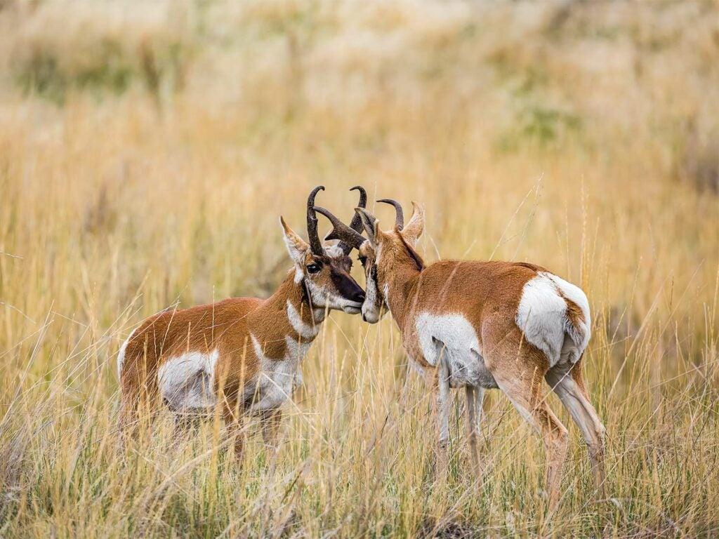 two antelope bucks preparing to fight