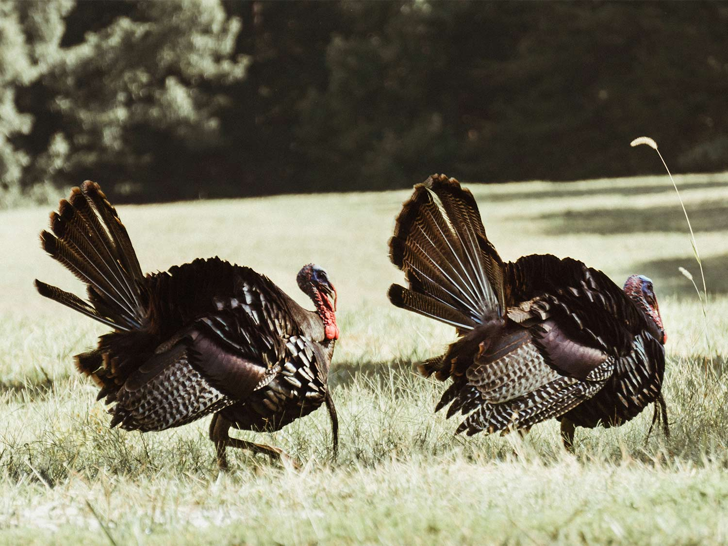Three Things To Consider When Buying A Turkey Decoy