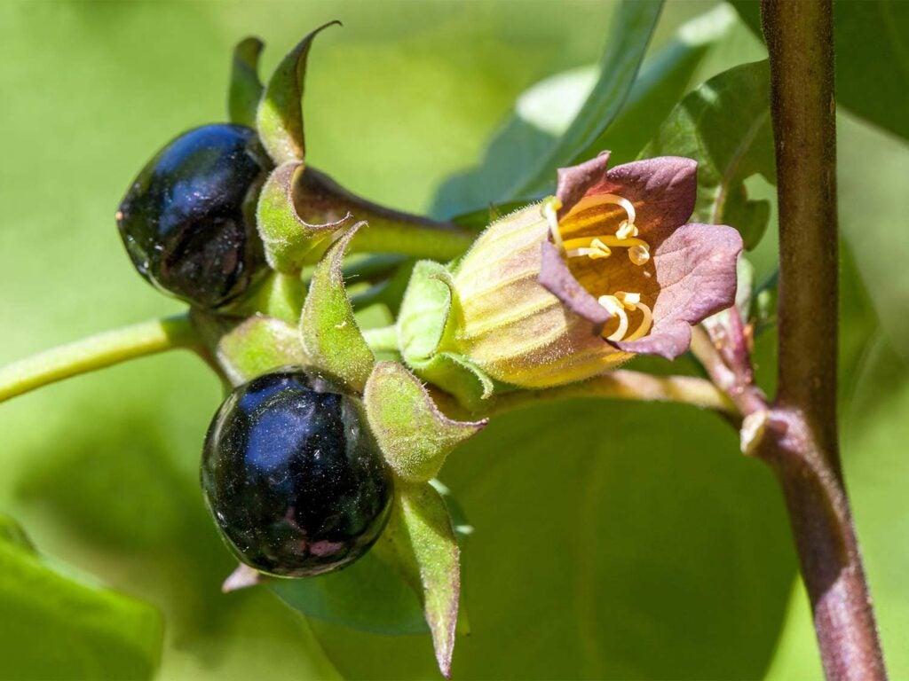 dark deadly nightshade berries