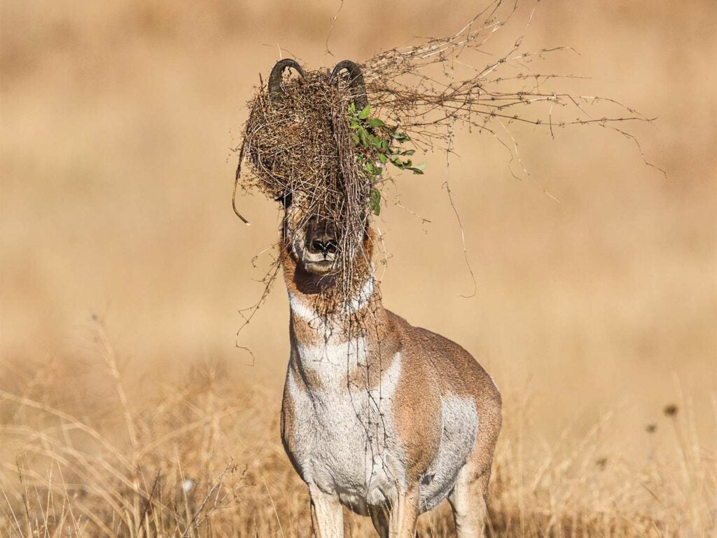 antelope with scrapes and trash bushes