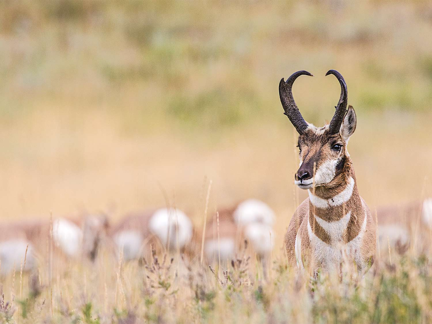 a mature antelope buck protecting does in a field.