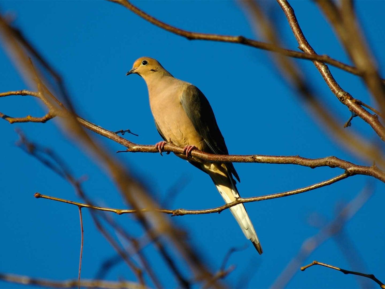 9 Hunting Tips for the Dove Season Opener
