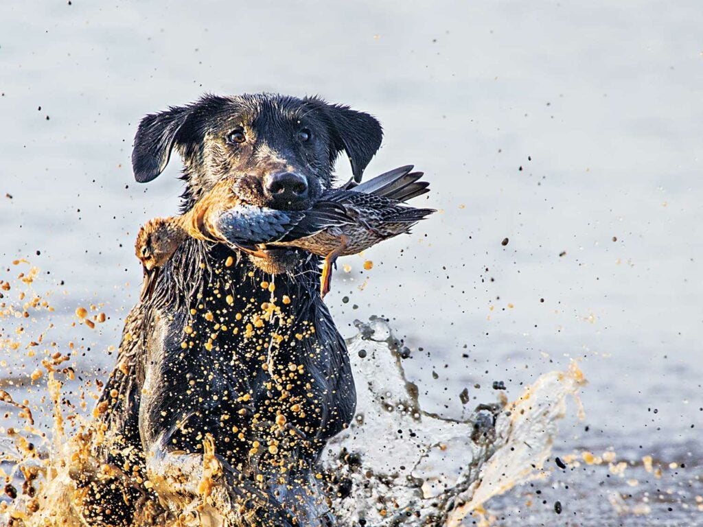 black lab retrieving a blue teal duck