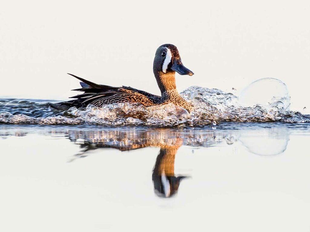 blue teal duck