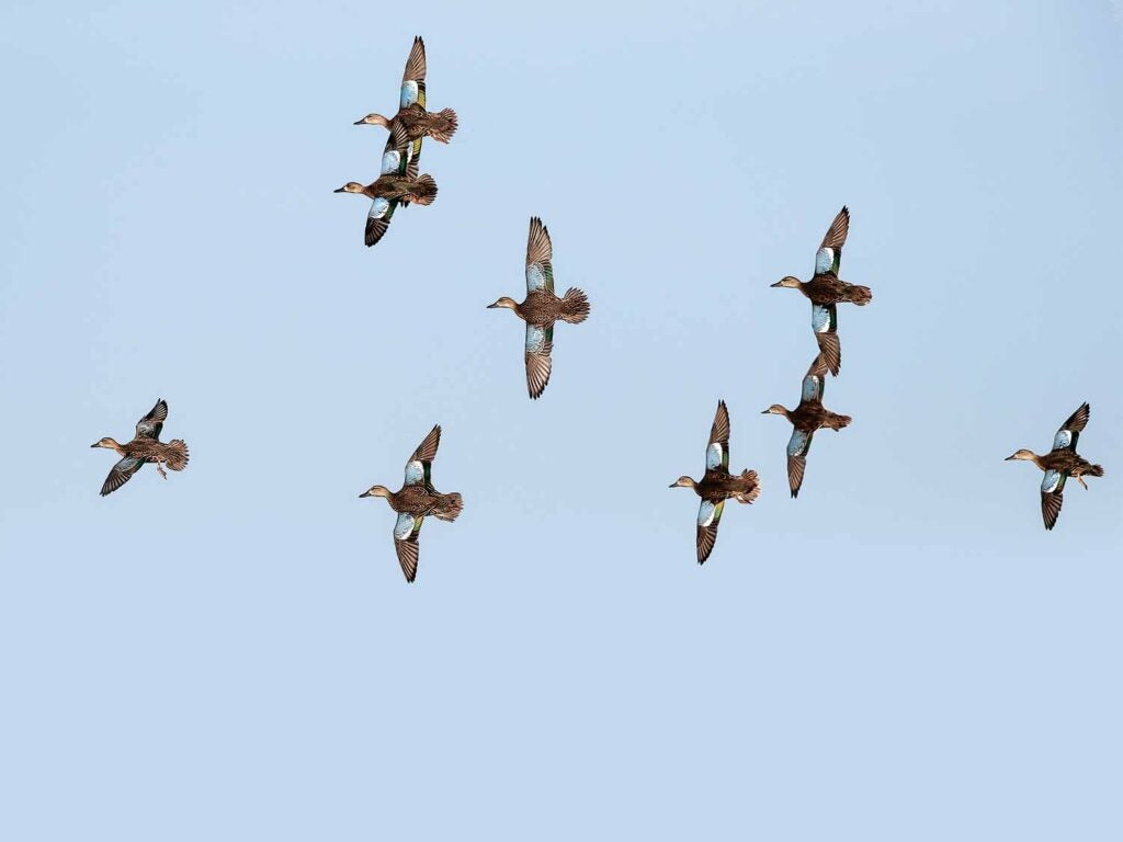 flying teal duck