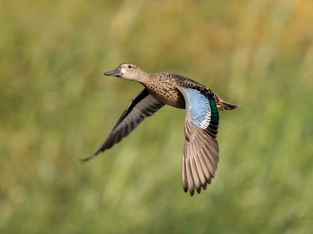 low-flying teal duck