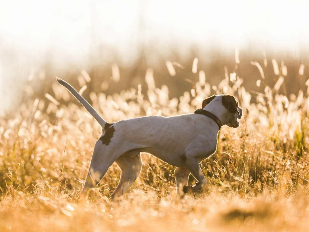 a pointer hunting dog in a hay field