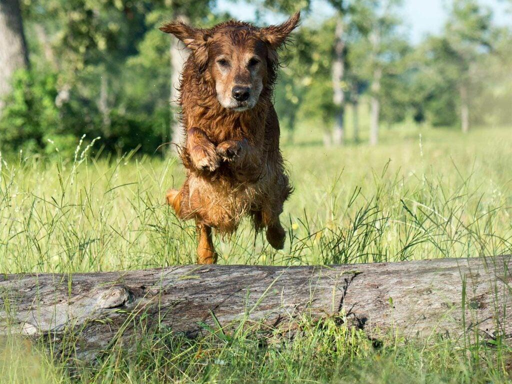 a golden retriever jumping over a log