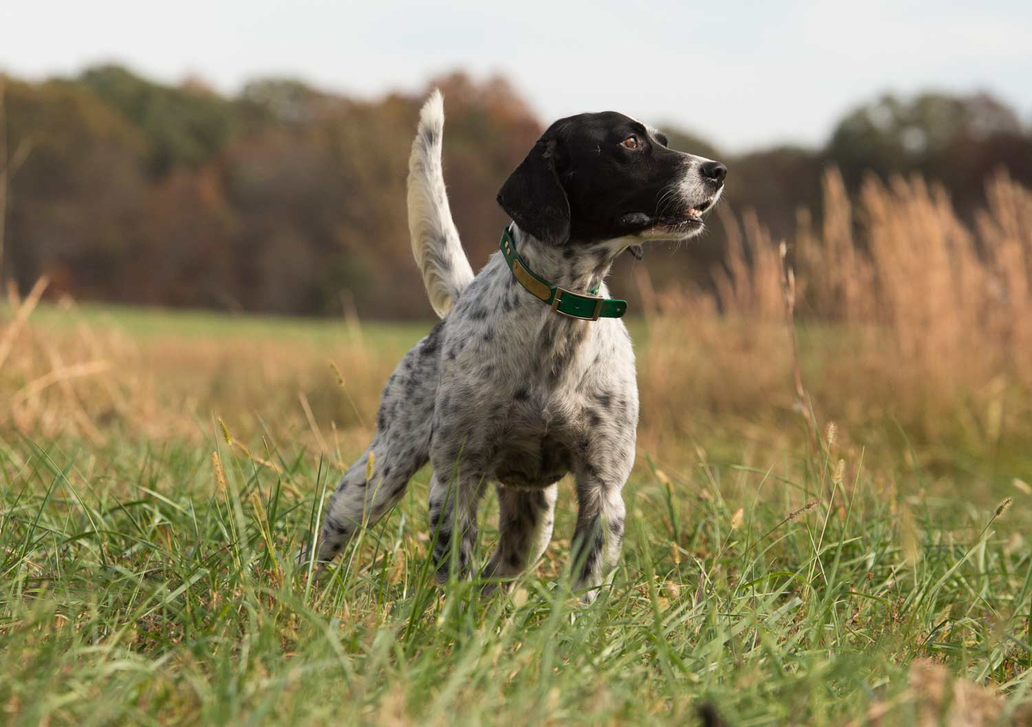 an english setter in a field