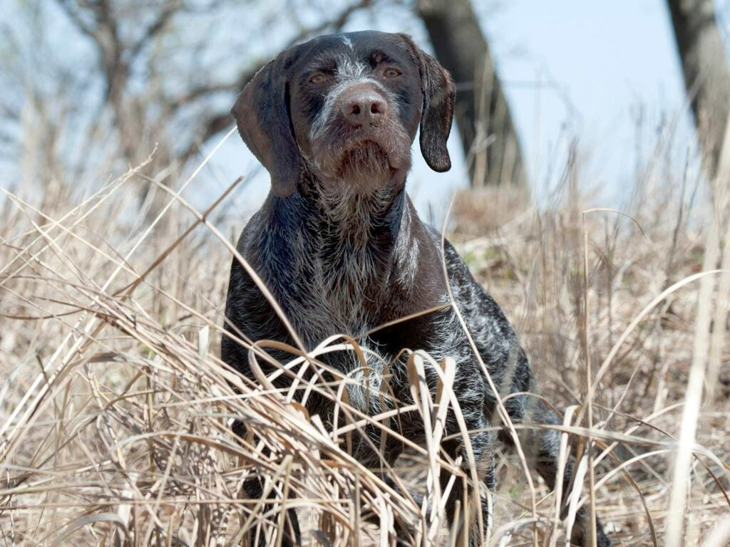 a drahthaas german wirehair pointer