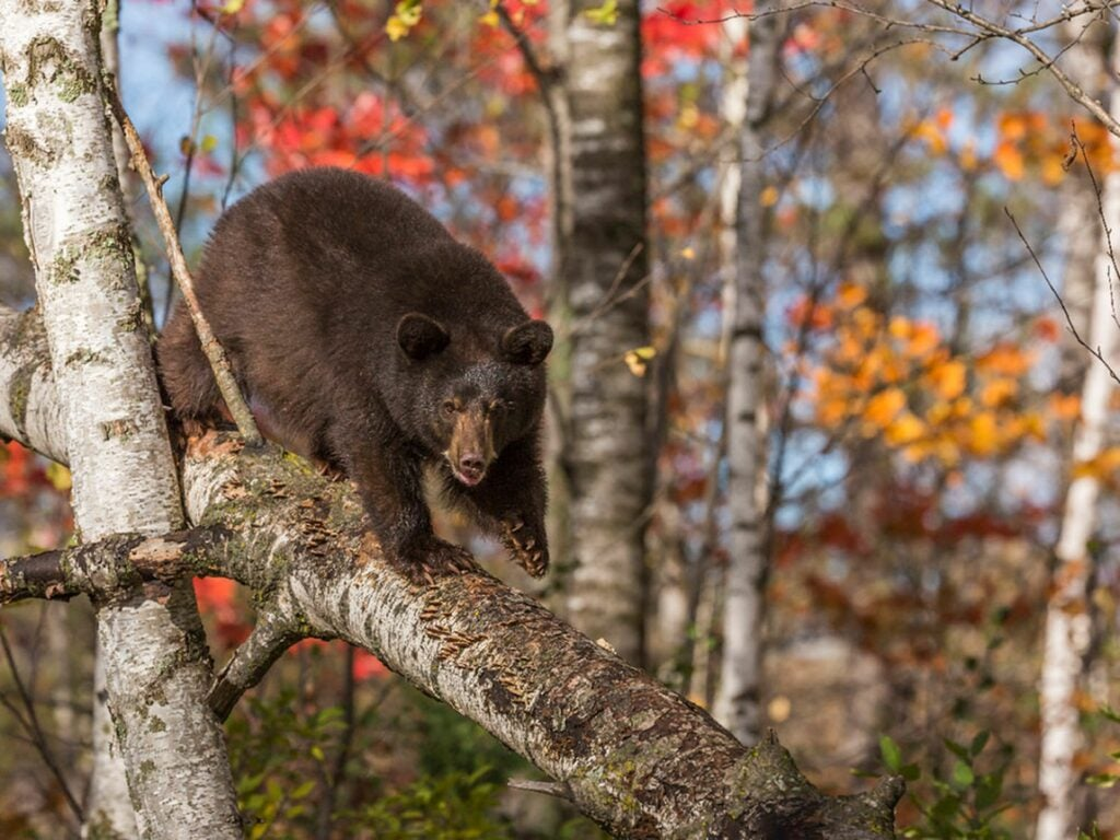 A black bear climbs down a fallen tree.