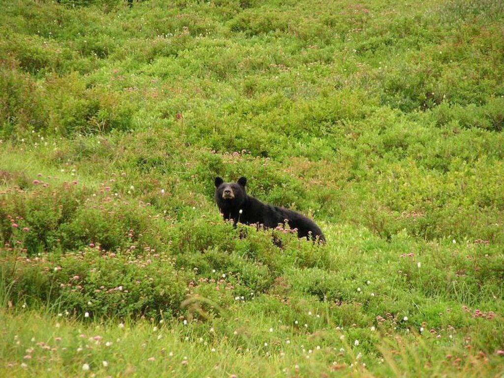 A black bear traverses a mountain side.