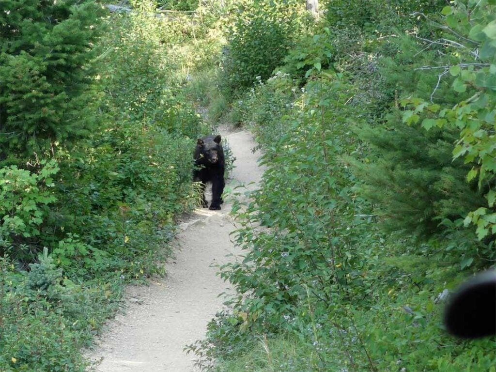 A black bear heading down a hiking trail.