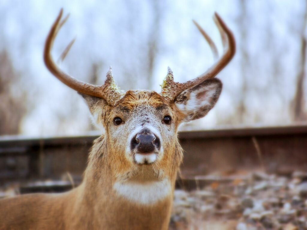 A whitetail deer during the rut.