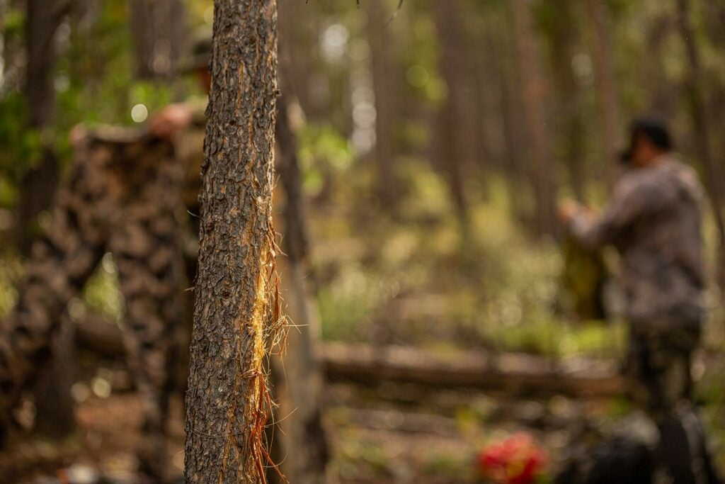 an elk rub on a tree in the woods