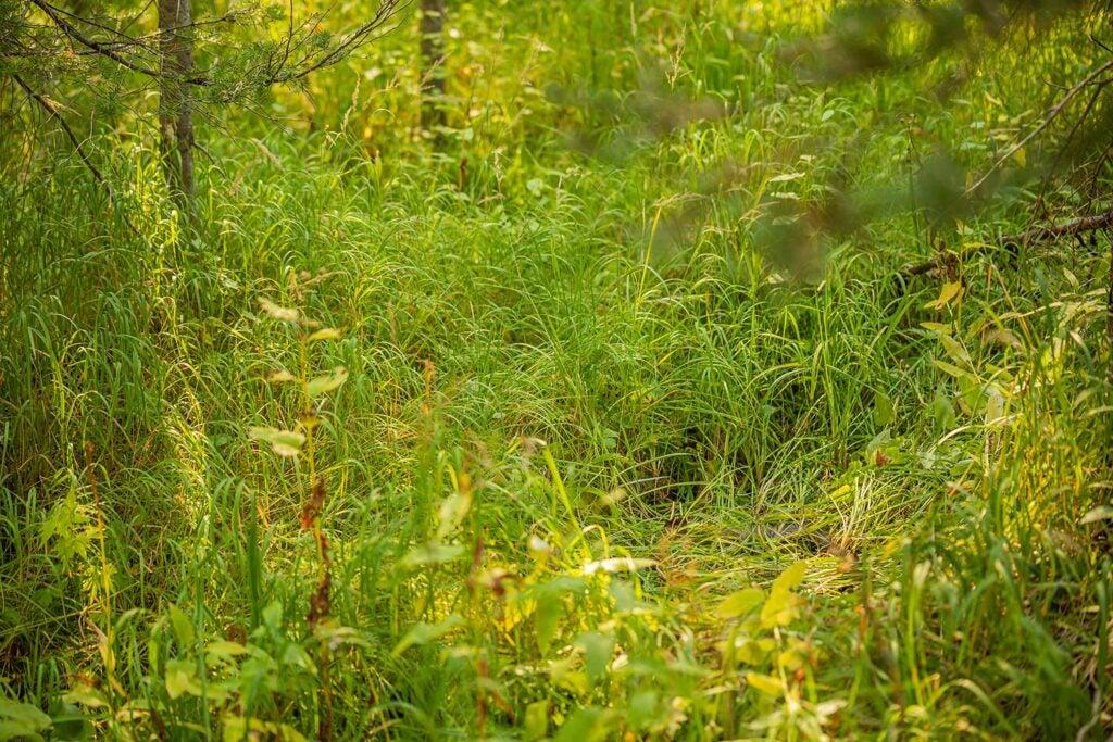 an elk bedding in tall grass
