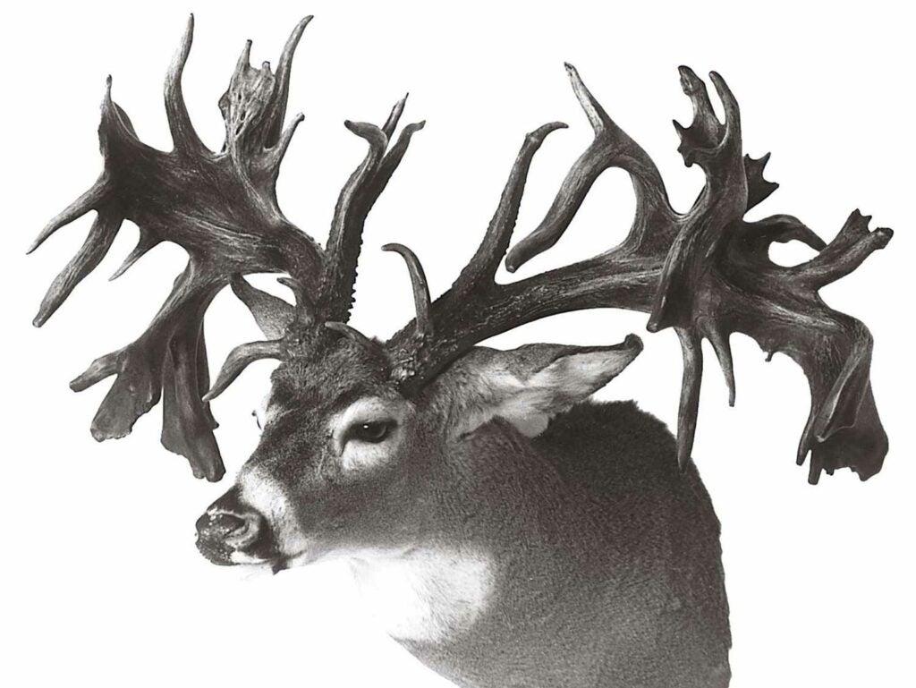328 2/8 Boone and Crockett whitetail buck