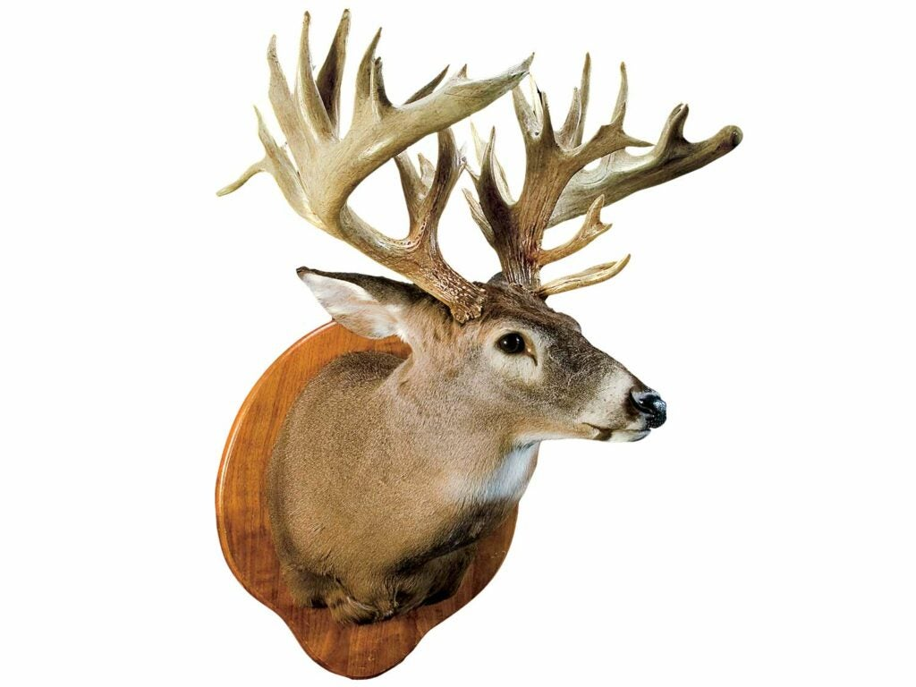 whitetail mount antlers trophy