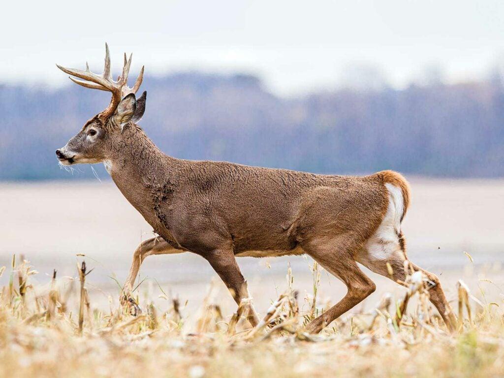 10-point-whitetail buck