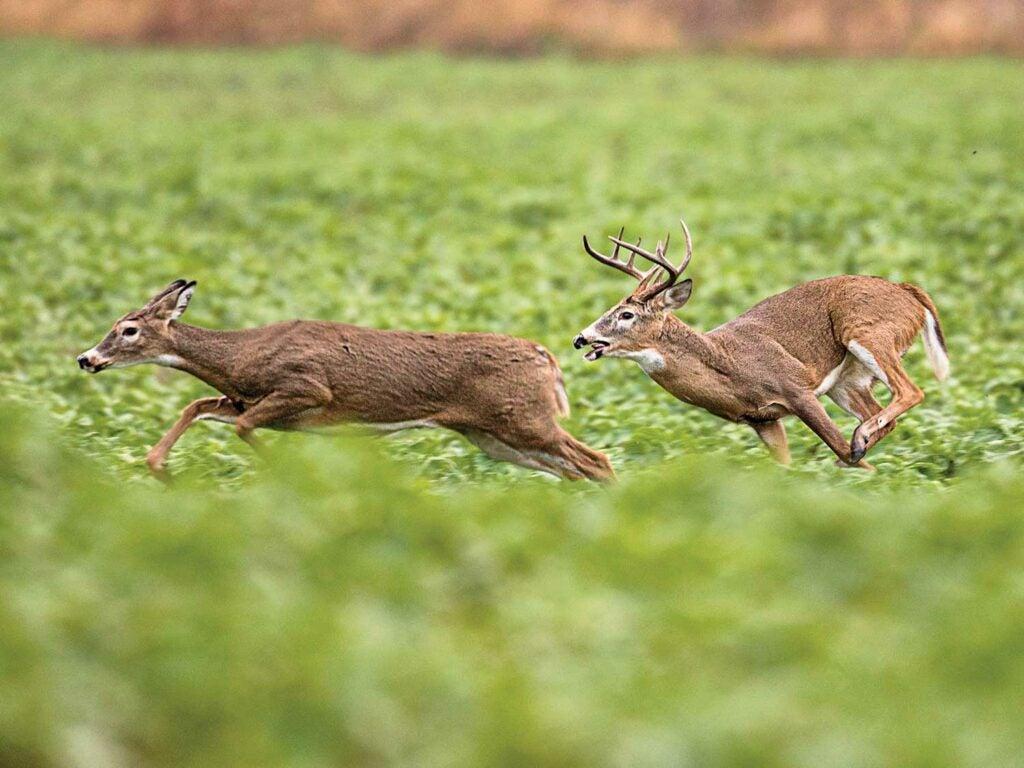 9 point buck chasing a doe in a clover field