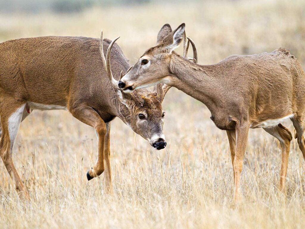 a deer stalking an estrous doe