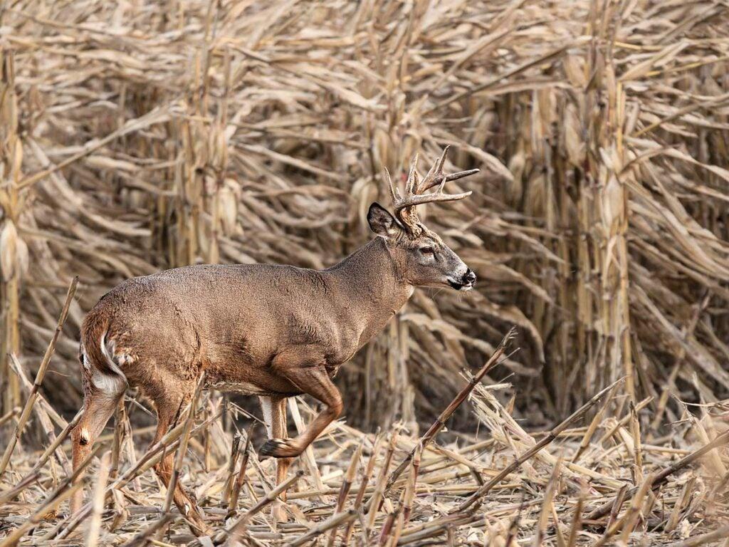 an ohio buck walking through a feeding area field