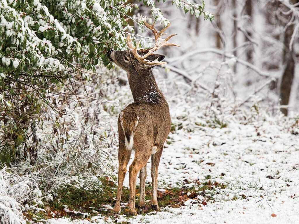 whitetail buck in the snow