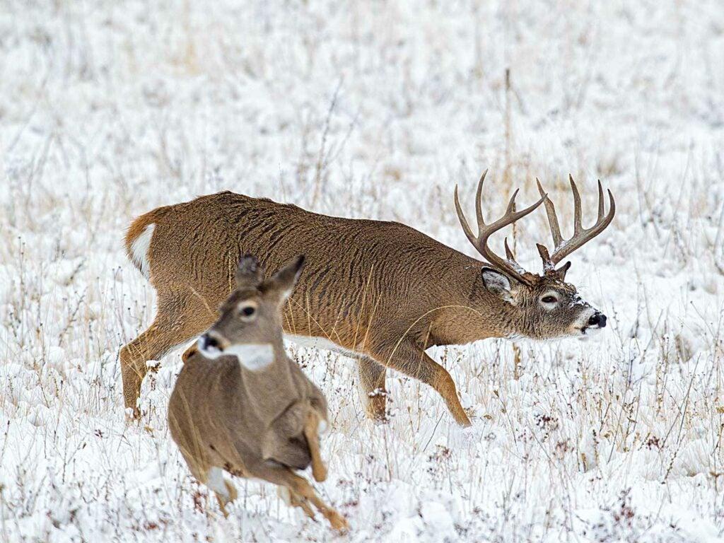 deer chasing a doe in the snow