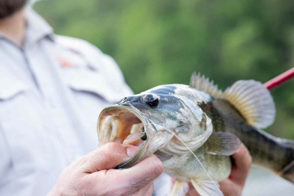 A bigger shoal bass caught in an eddy of the Flint River on a soft plastic flatworm.