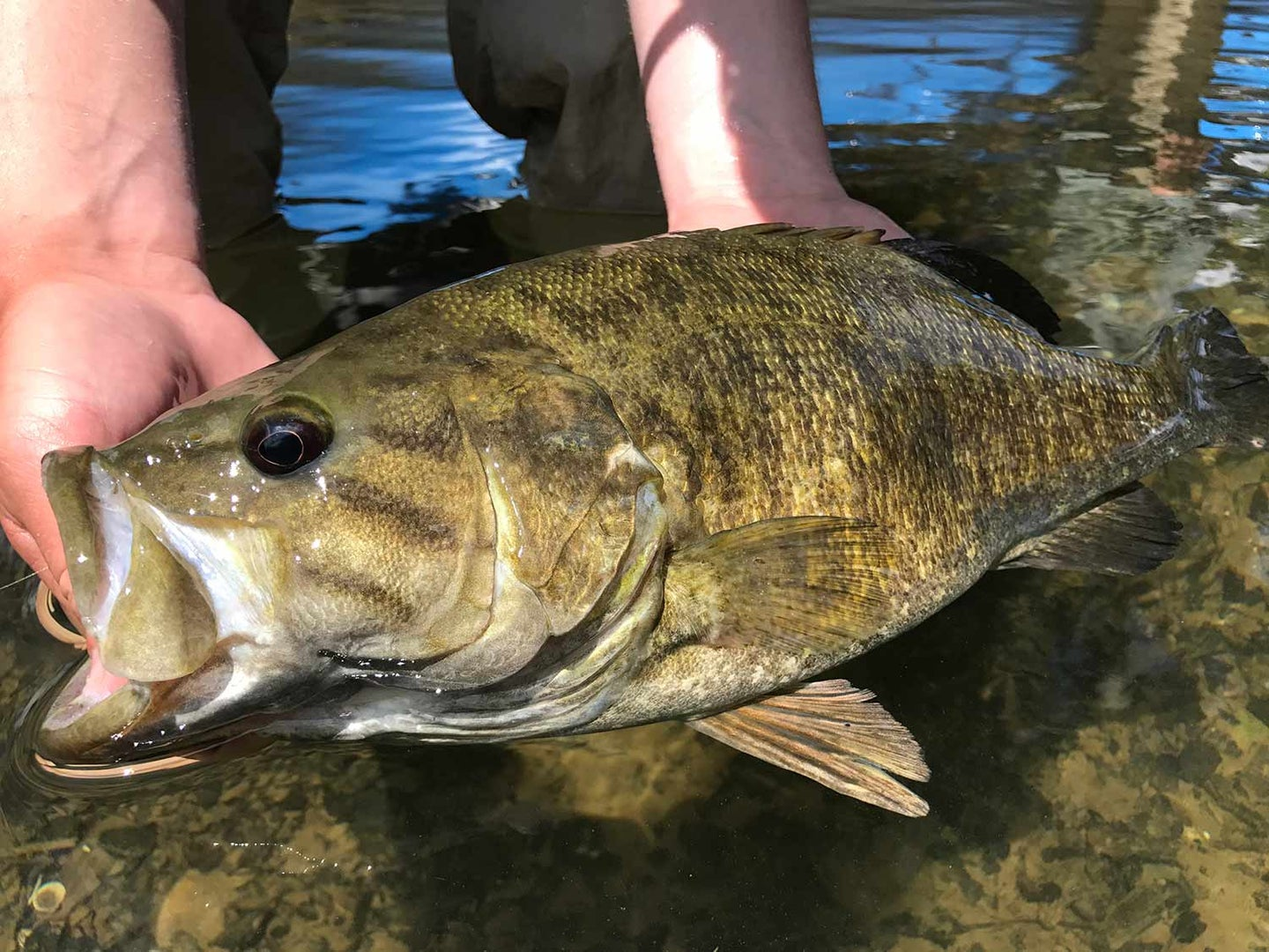 an angler holding a smallmouth bass in a river