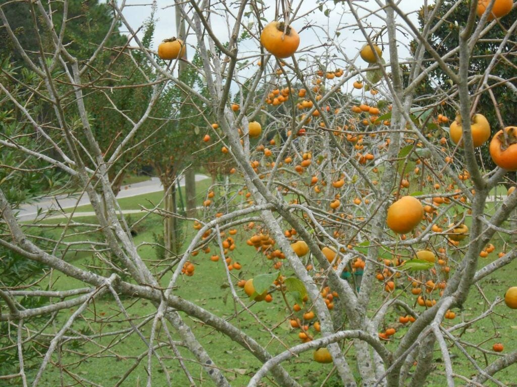 a persimmon tree