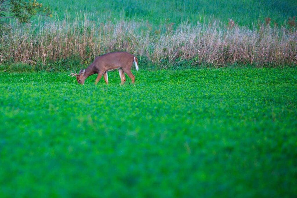 A buck in a soybean field