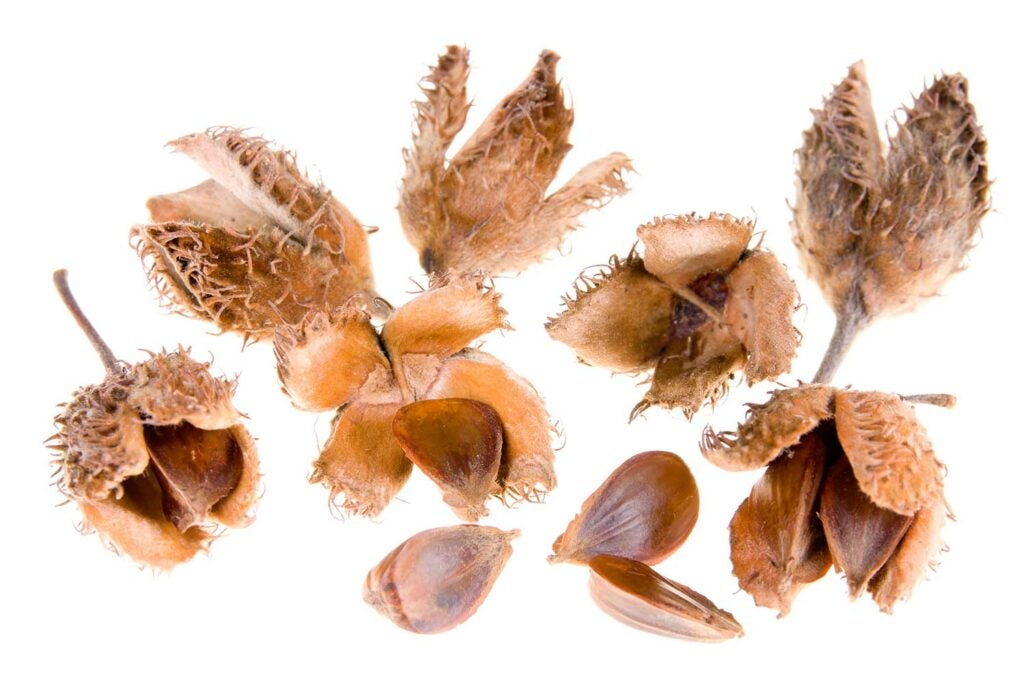 Beech Nuts.