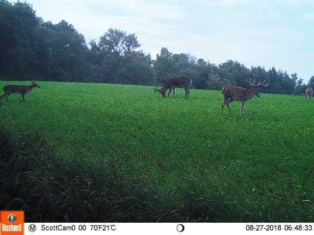 deer in alfalfa fields