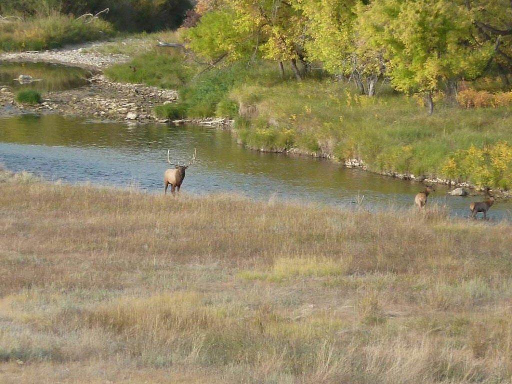 bull elk strolling by a river with cows