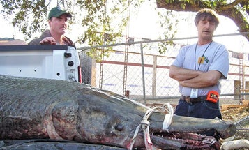 World Record Alligator Gar Pulled From Mississippi Lake Tangled in Fisherman's Net