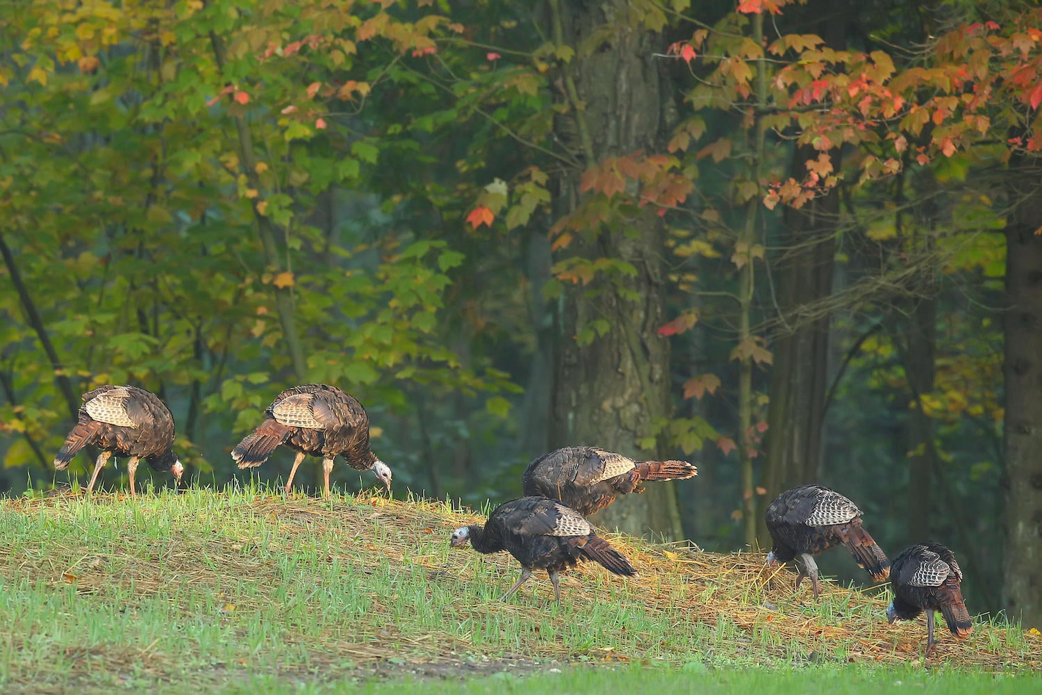 R84DEF Wild Turkey (Meleagris gallopavo) Large game bird. Native American bird.Male Turkey on the edge of a forest