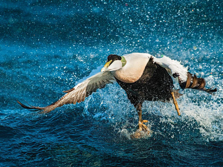 Want a Wild Waterfowl Adventure? Plan a Winter DIY Sea Duck Hunt