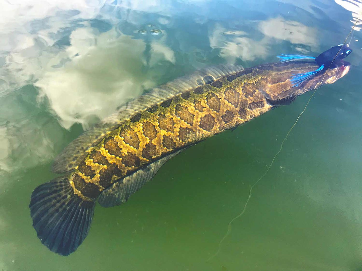 Is the Snakehead Epidemic Happening All Over Again?