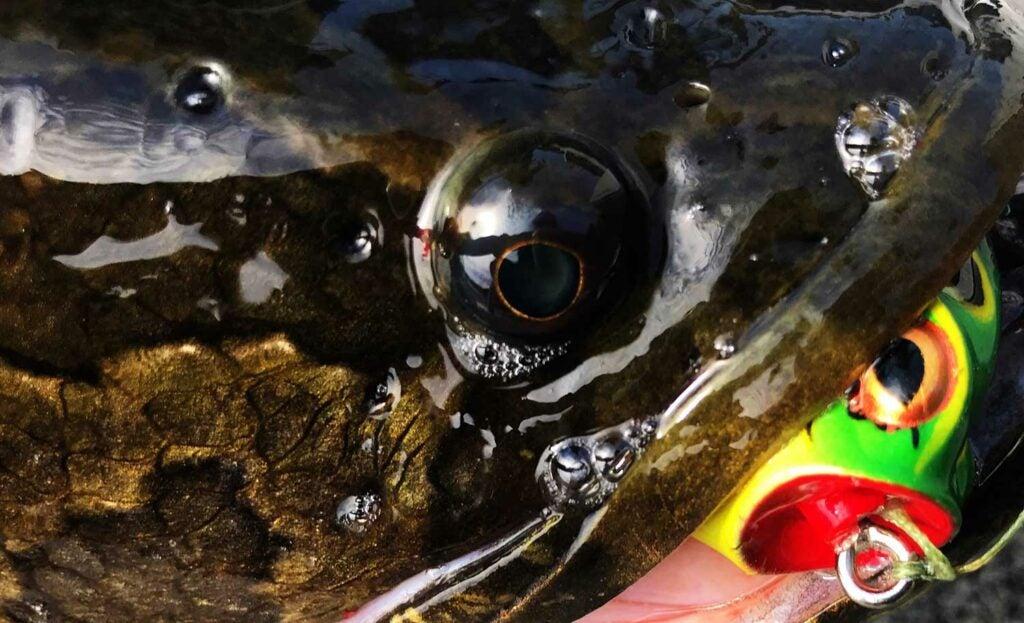 snakehead topwater lures