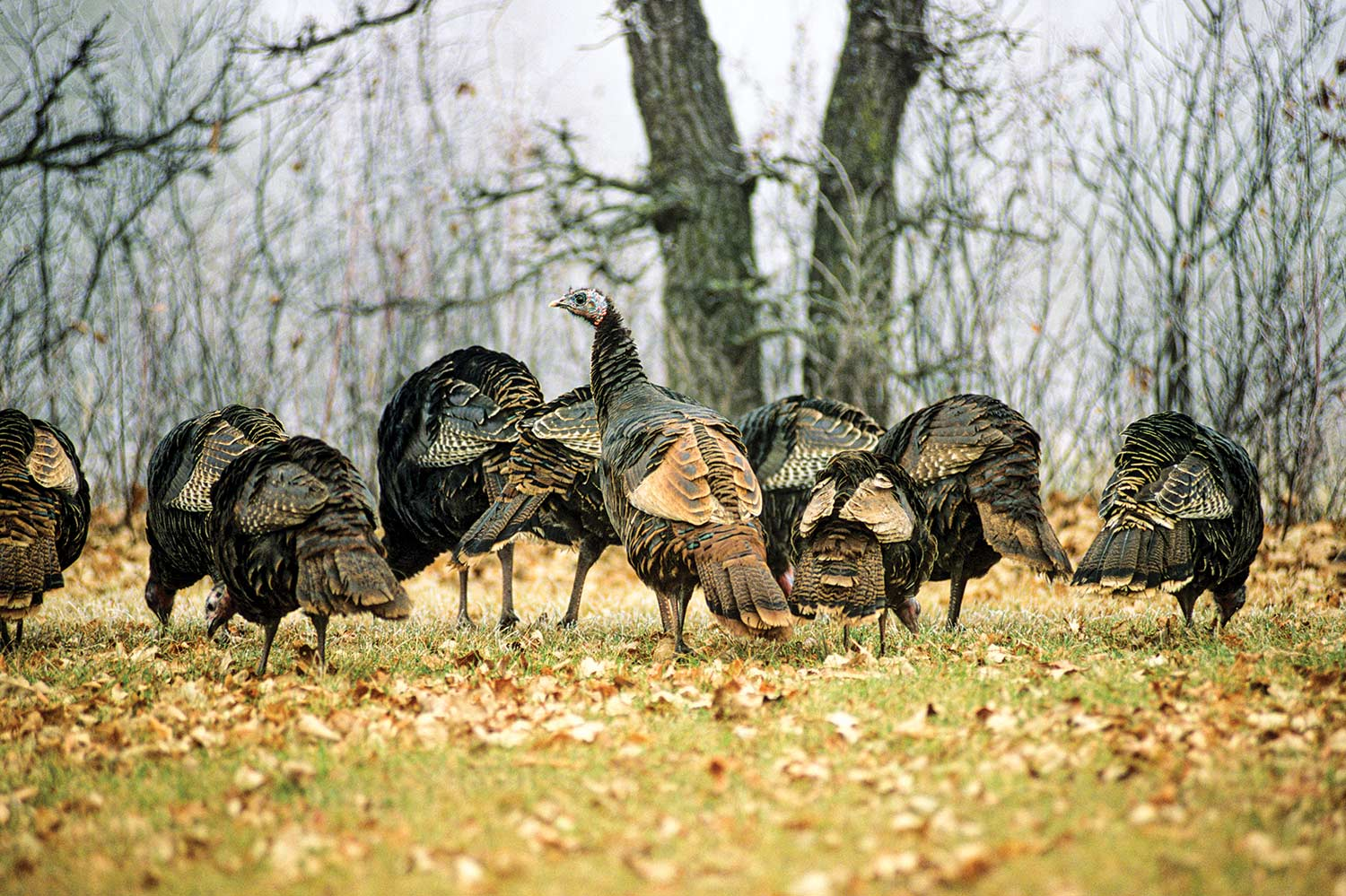 How to Hunt for a Thanksgiving Day Wild Turkey