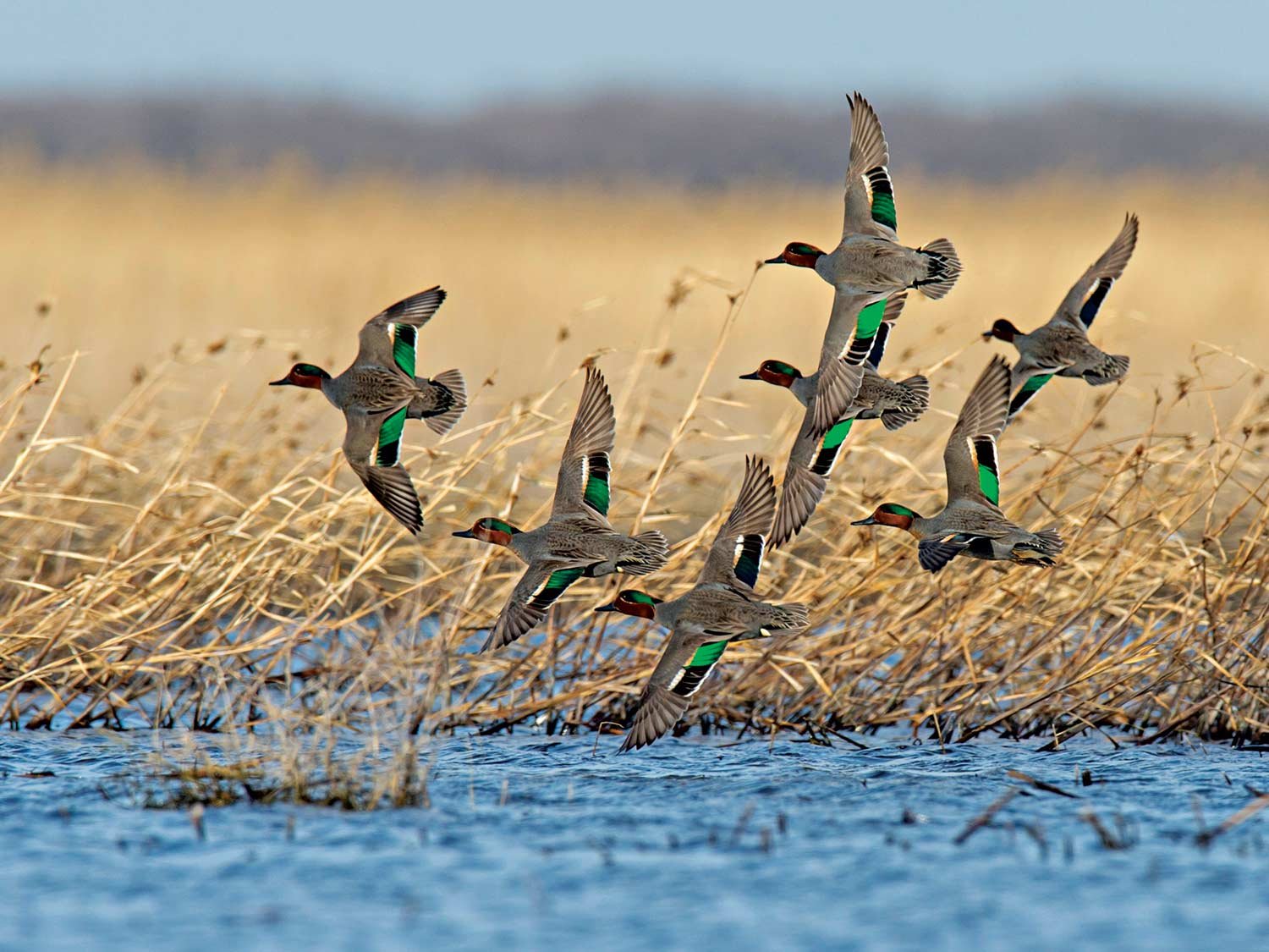 How to Hunt the Greenwing Teal Migration